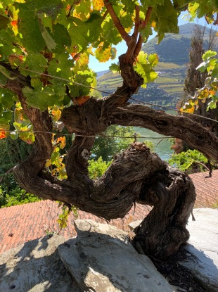 200 year old vine at Foz